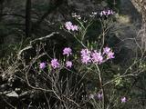 ミツバツツジが咲き誇る