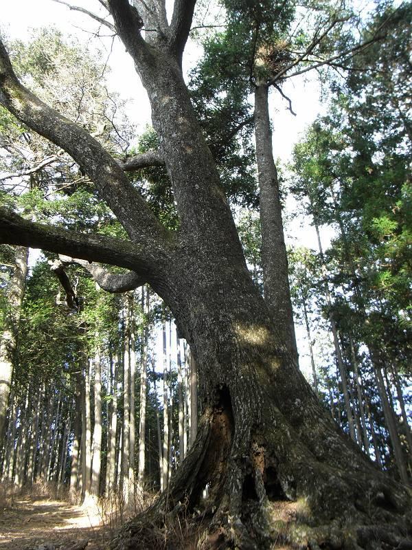 コナラの巨樹